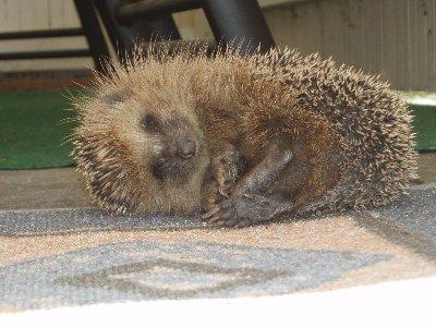 våran igelkott, sover på vår uteplats ...
